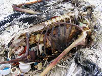 Bottle caps and other plastic objects are visible inside the decomposed carcass of this Laysan albatross on Kure Atoll. Photo from www.mindfully.org